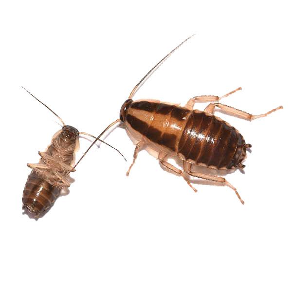 German cockroach identification and habitat - Isotech Pest Management